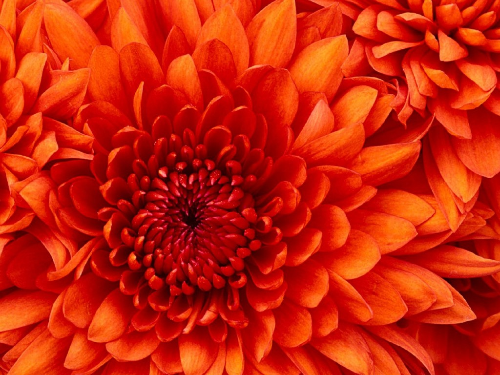 хризантеми фото 1