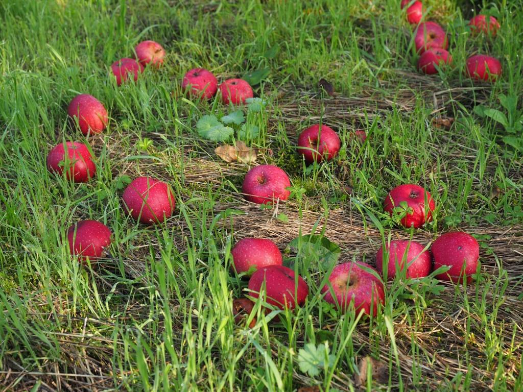 яблука доспіли яблука червоні