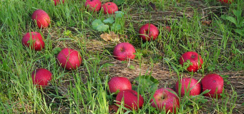 Яблука доспіли, яблука червоні… Вірш про любов Максима Рильського