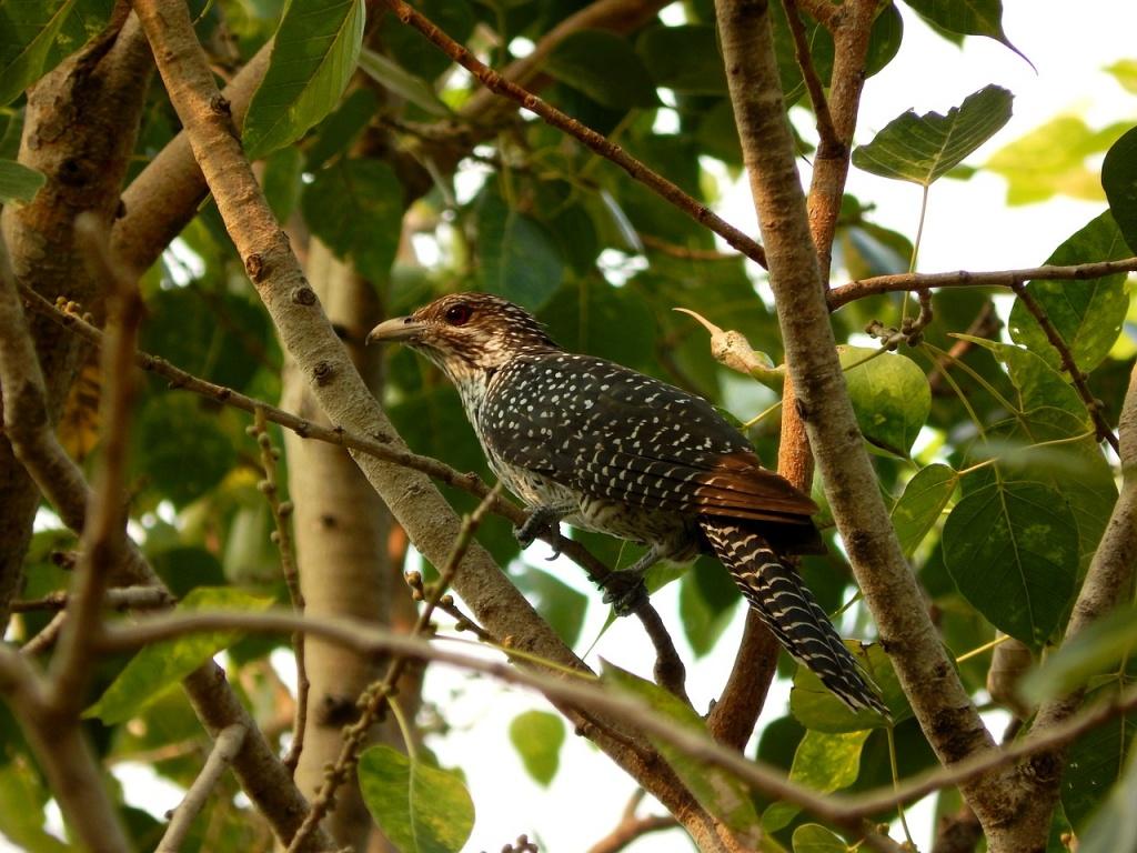 птахи фото зозуля