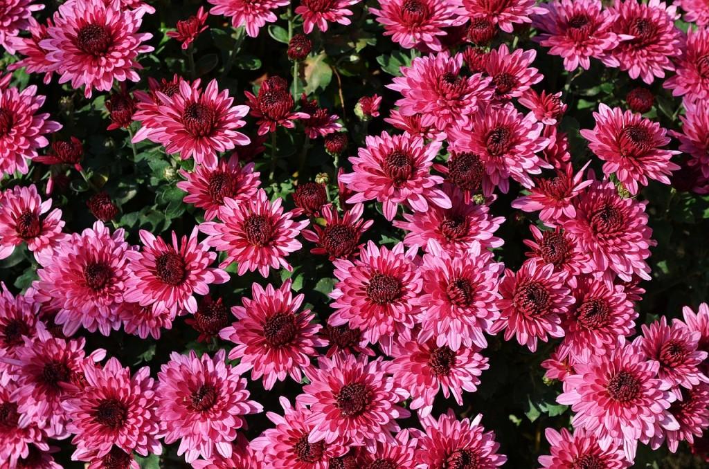 вірш про осінь Цвітуть багряні хризантеми