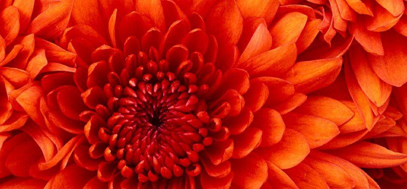 Цвітуть багряні хризантеми… Ліричний вірш про осінь