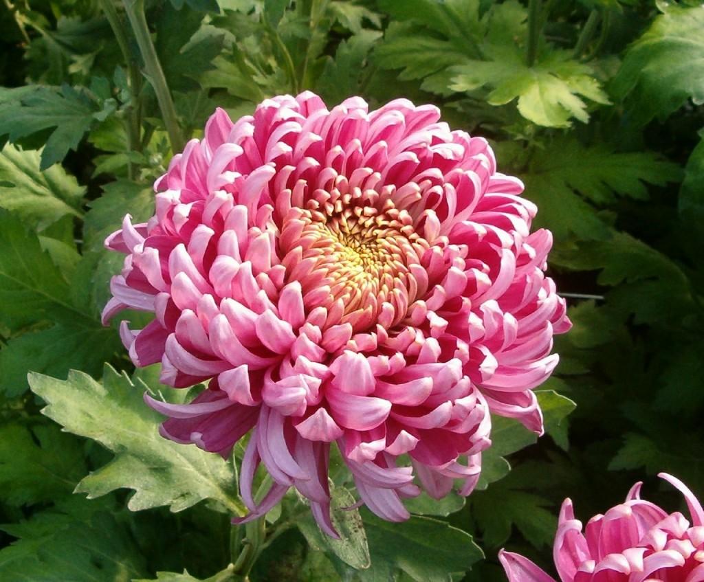 хризантеми фото 3