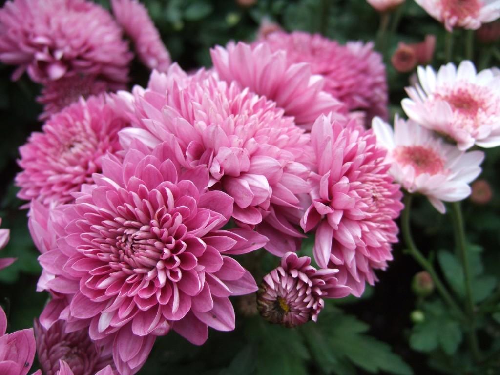 хризантеми фото 4